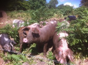 Ruggle Pigs loving the mud